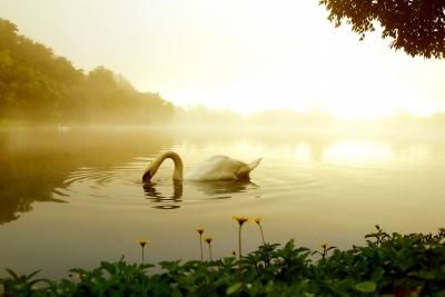Swan Annankkml